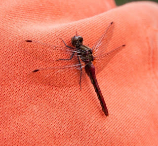 Dragonflies: myths, meanings and mysteries
